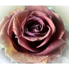 rose rot<div class='url' style='display:none;'>/kg/laupen/</div><div class='dom' style='display:none;'>kirchenregion-laupen.ch/</div><div class='aid' style='display:none;'>3837</div><div class='bid' style='display:none;'>10984</div><div class='usr' style='display:none;'>10967</div>